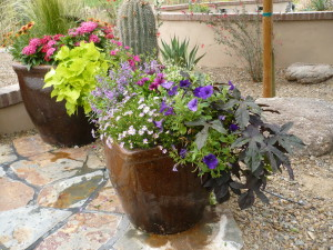 Early Summer Annuals in Desert Pots by The Potted Desert