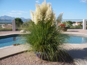 A single plant such as this Pampas grass can easily be hand watered, Photo by the Potted Desert