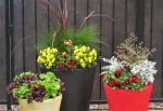 Winter Annuals with Pots that bloom color themselves create a beautiful focal point in your Desert Potted Garden