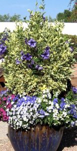 Winter Desert Pot Recipe with Euonymus and Petunias