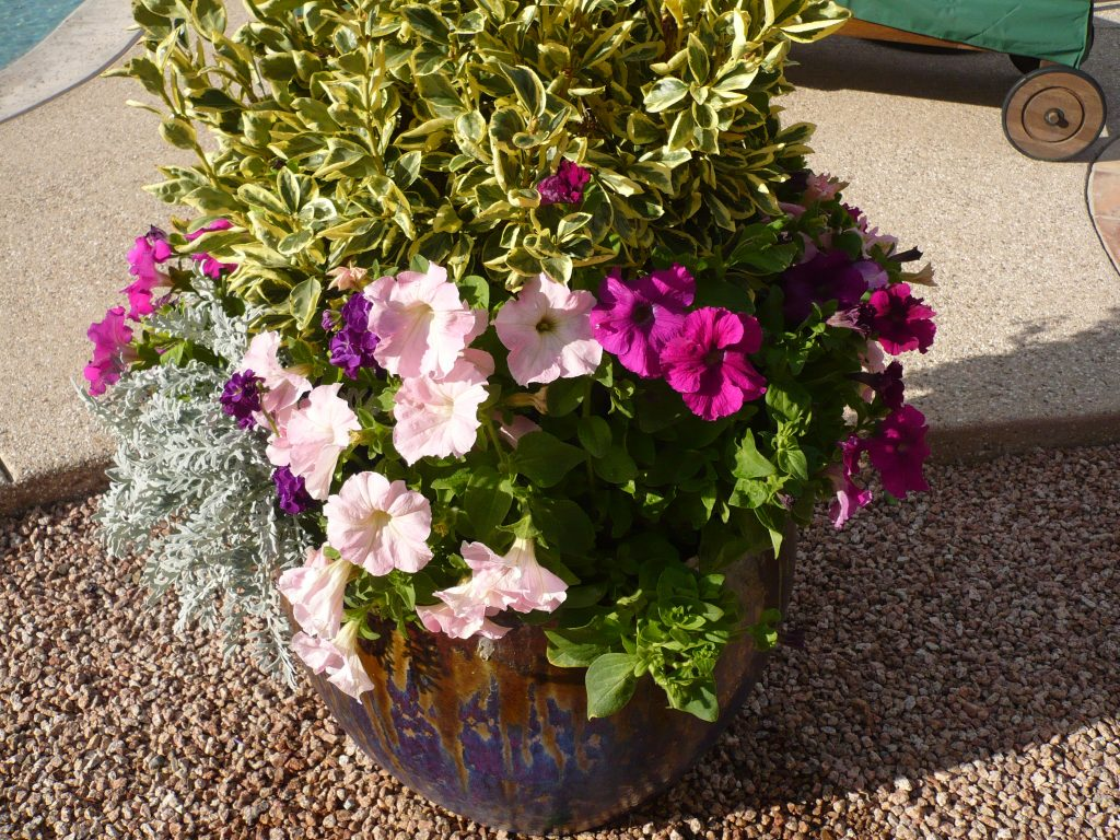 A potted Golden Euonymus with petunias and dusty miller. The Potted Desert