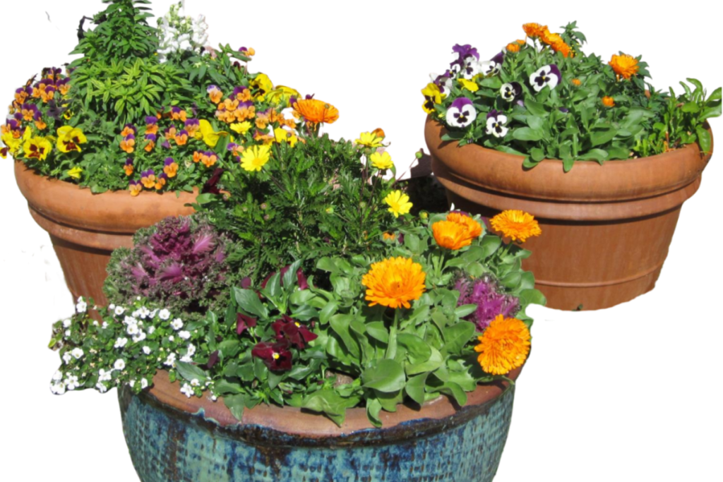 A winter planting for a desert container garden featuring Calendula, Pansies, Violas and Daisies. The Potted Desert