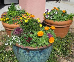 Calendula paired with Pansies, Kale and Snaps for a winter desert container gardener from The Potted Desert
