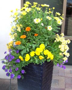 Orange Calendula with Yellow Pansies and Daisies with Blue Lobelia