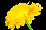 Yellow Single Stem Calendula