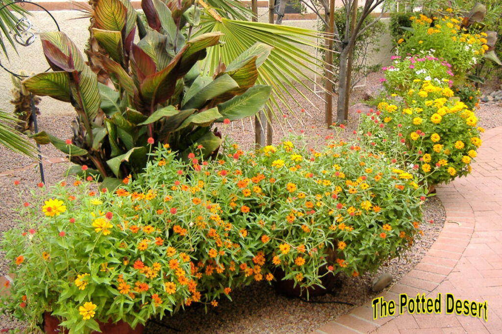Yellow and Orange in a Desert Container Garden by the Potted Desert