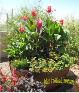 Red Canna in a Jumbo Desert Summer Garden Pot