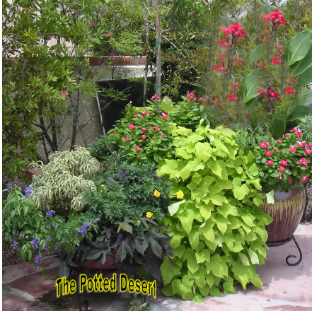 Hot Desert Container in August - Full bloom with Red Canna and Sweet Potato Vine