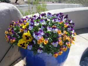 Winter Potted Violas and Pansies by the Potted Desert