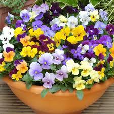 Mixed Violas for Desert Winter Pots