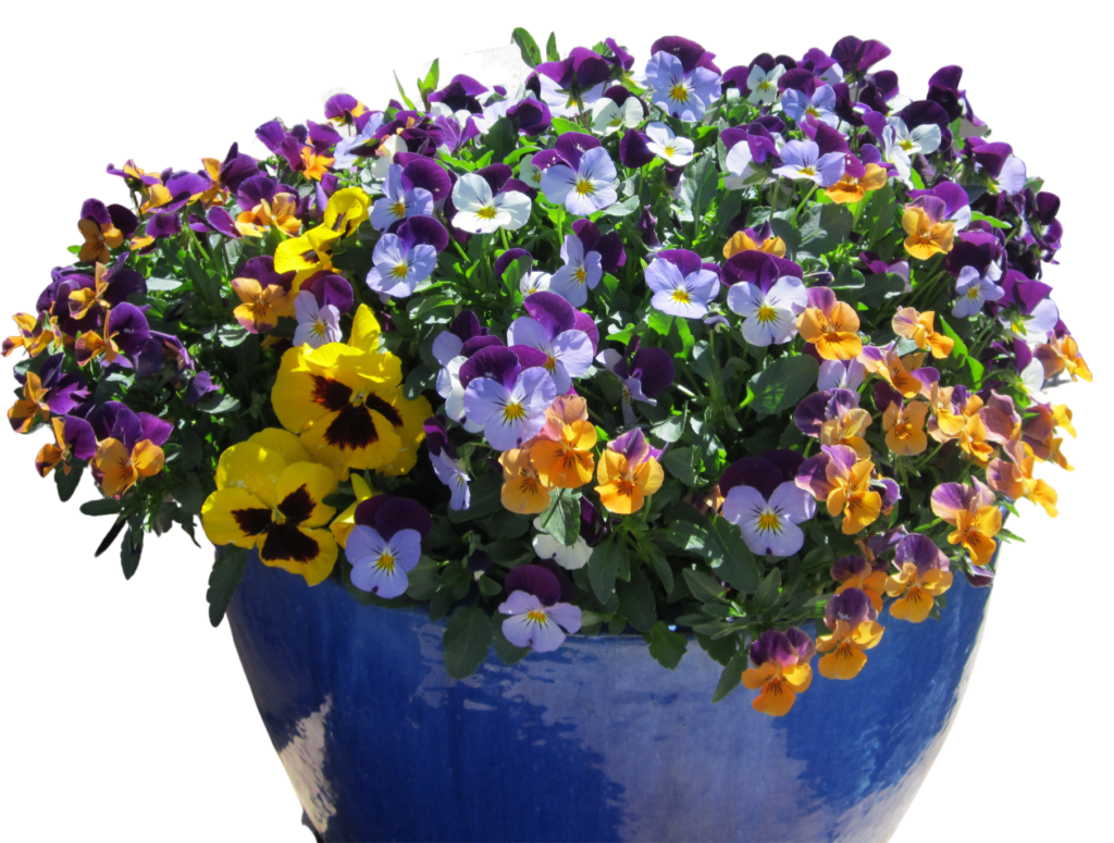 Winter Violas in a Blue Pot by The Potted Desert