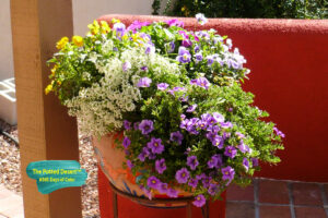A winter Desert Pot filled with Violas, Petunias and Alyssum