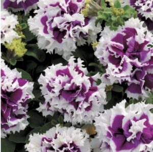 Pirouette Purple Double Petunia by Park Seed