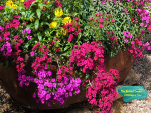 Winter Desert Pot with Petunias by The Potted Desert