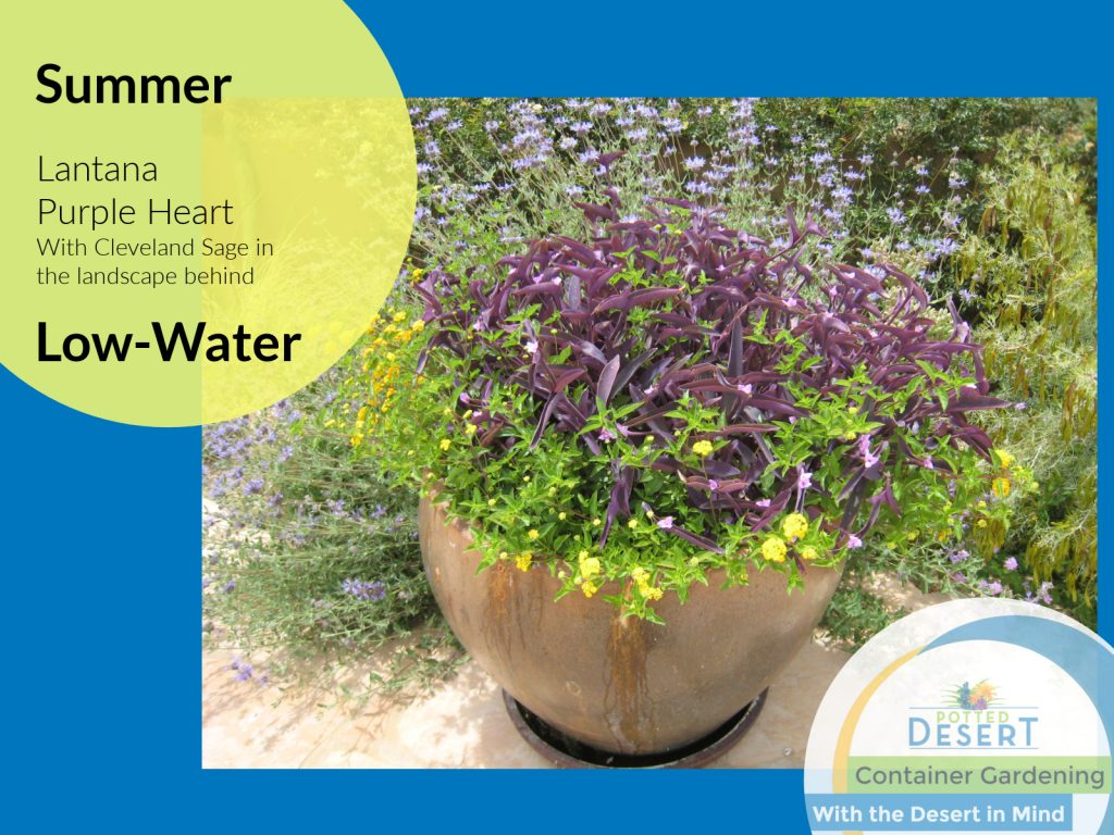 Summer Low Water Purple and Gold by the Potted Desert