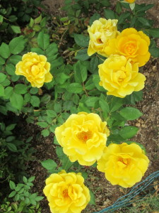 Healthy rose blooms (2)