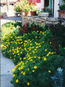 The same bed in the spring with Yellow Daisies