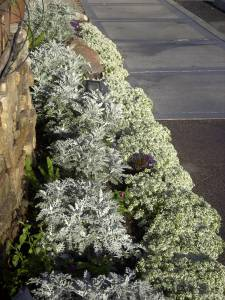 A :quot:white:apos: bed of Dusty Miller and Allysum