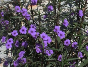 Large planting of purple Ruellia