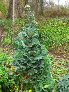 Kale bolting at the end of the season