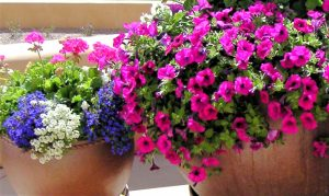 Massive Petunias Thrive While It's Still Hot