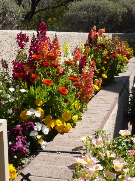 Raised bed of snapdragons